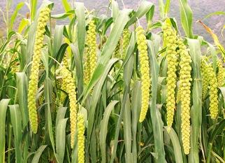 Image result for millet
