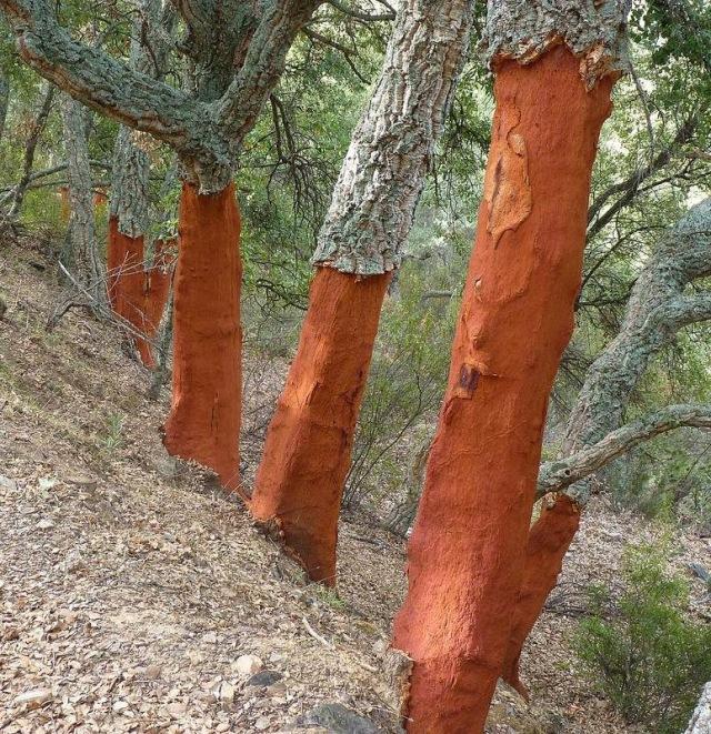 http://3.bp.blogspot.com/-0-RFQhAaQIk/Un5ogZtWVTI/AAAAAAAArmc/93TchkuZIkA/s1600/cork+harvest+oak+15.jpg